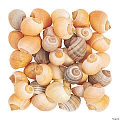 Natural Spiral Sea Shells