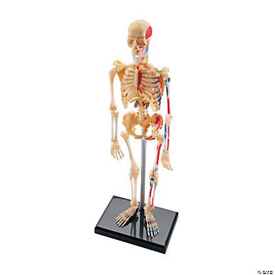 Human Skeleton Model, 41 Pieces