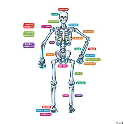 Magnetic Human Skeleton
